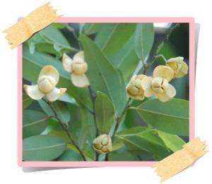 ราชอาณาจักรกัมพูชา ดอกลำดวน2